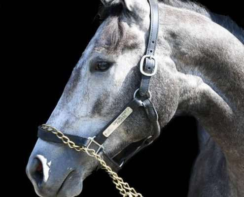 Concord Jet - yearling colt horse racing partnership. Head view.