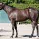Desert Swarm - 2 year-old Cal Bred colt offered by Dare To Dream Stable Horse Racing Partnerships - left side view