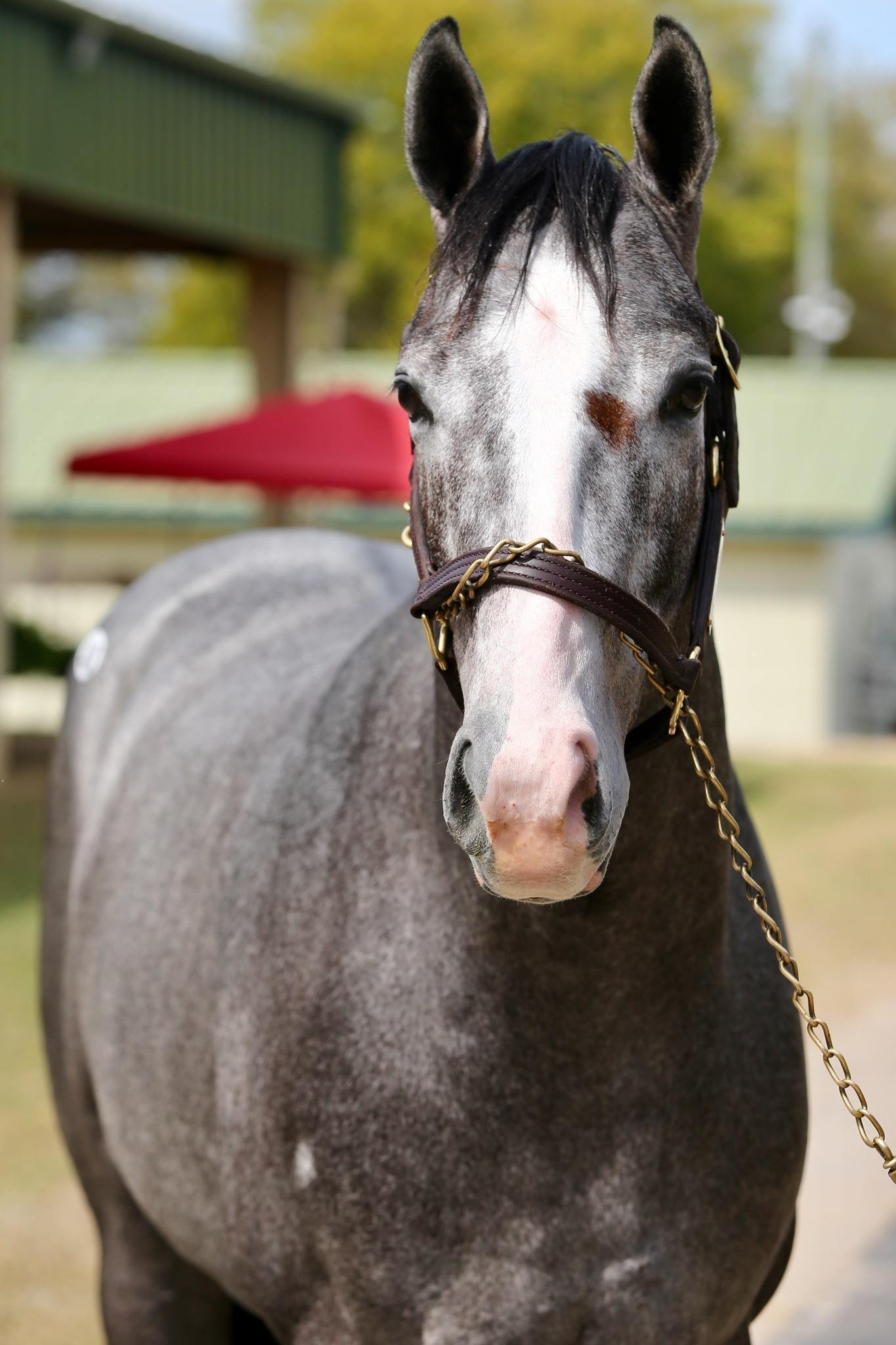 The Gray Blur - 2 year-old KY Bred colt offered by Dare To Dream Stable Horse Racing Partnerships (left side front head view)