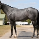 The Gray Blur - 2 year-old KY Bred colt offered by Dare To Dream Stable Horse Racing Partnerships (left side view 2)