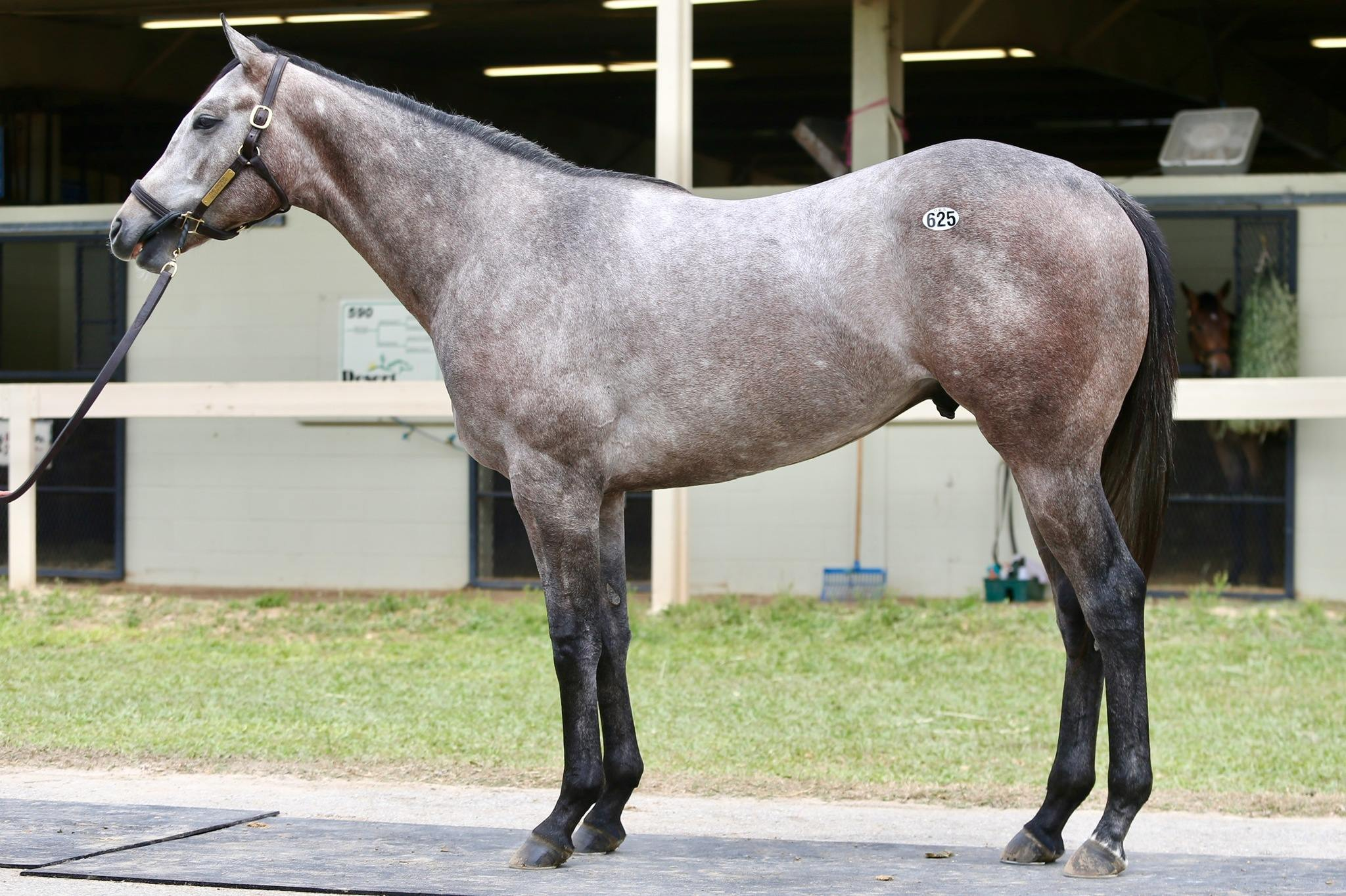 Embolden - 2 year-old VA Bred colt offered by Dare To Dream Stable Horse Racing Partnerships (left side view 2)