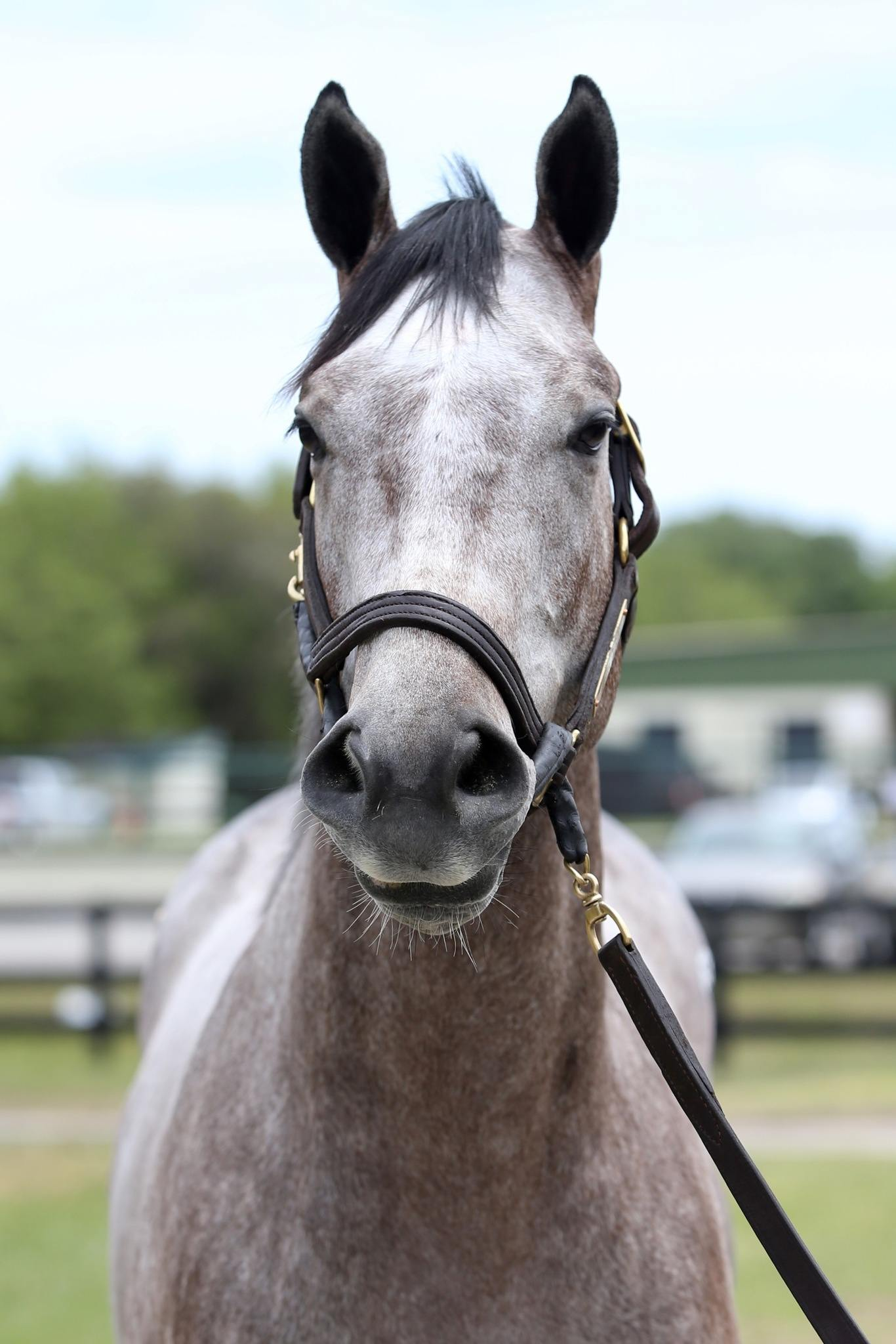 Embolden - 2 year-old VA Bred colt offered by Dare To Dream Stable Horse Racing Partnerships (straight head view)