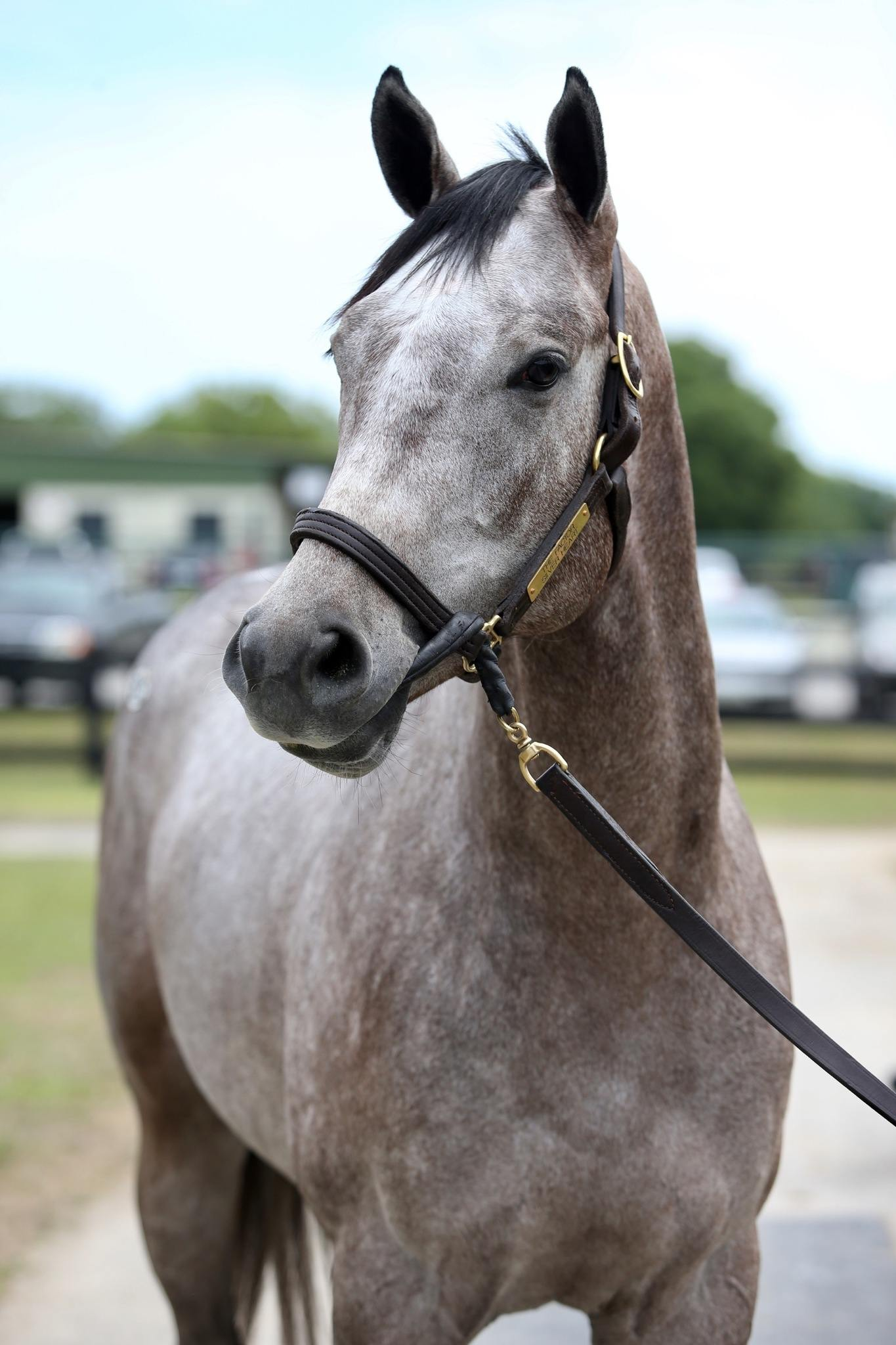 Embolden - 2 year-old VA Bred colt offered by Dare To Dream Stable Horse Racing Partnerships (left head view 2)
