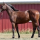 Duke of Darkness - yearling colt by Northern Afleet out of Dark Darling (Ready's Image) - left side.