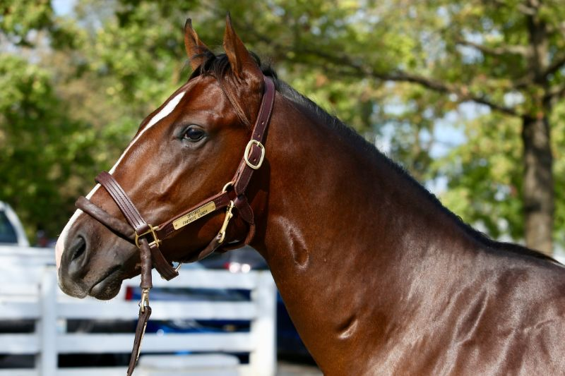 Starburst - yearling colt by Upstart out of Favorite Candy (Candy Ride (ARG)) - head 3.
