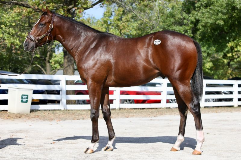 Starburst - yearling colt by Upstart out of Favorite Candy (Candy Ride (ARG)) - left side 2.