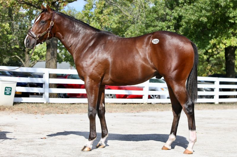 Starburst - yearling colt by Upstart out of Favorite Candy (Candy Ride (ARG)) - left side.