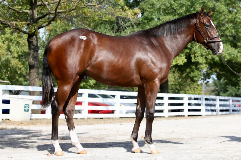 Starburst - yearling colt by Upstart out of Favorite Candy (Candy Ride (ARG)) - right side.