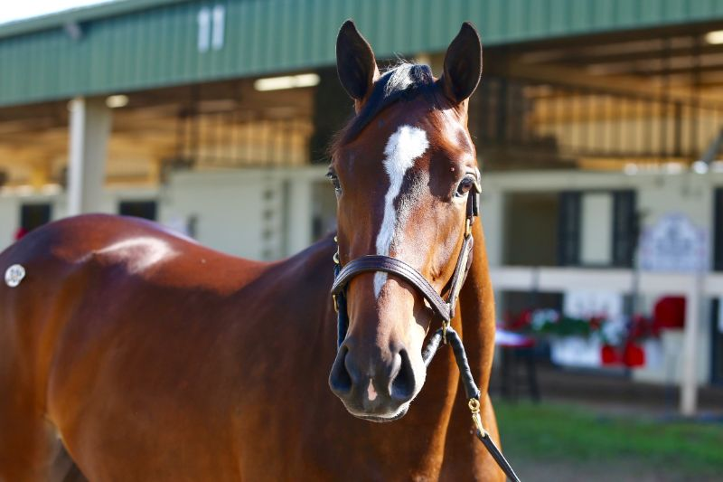 Arrest Warrant - two year old filly by Into Mischief out of Party of Interest (Bernardini) - right side, head.