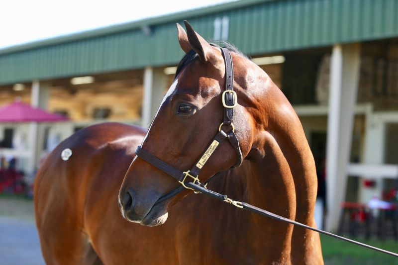 Arrest Warrant - two year old filly by Into Mischief out of Party of Interest (Bernardini) - right side, left head.