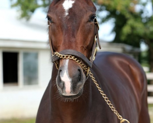 Duke of Darkness - two-year-old gelding by Northern Afleet out of Dark Darling (Ready's Image) - left side angle
