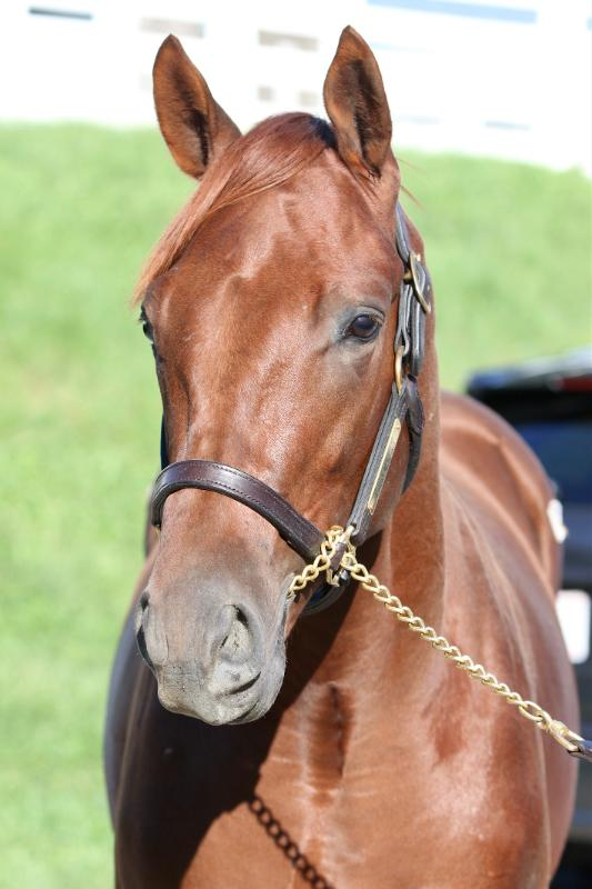 Inspeightoftrainer - 2020 Chestnut colt by Speightster out of Run a Round (Broken Vow) - head left side