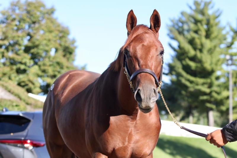 Inspeightoftrainer - 2020 Chestnut colt by Speightster out of Run a Round (Broken Vow) - head right side.