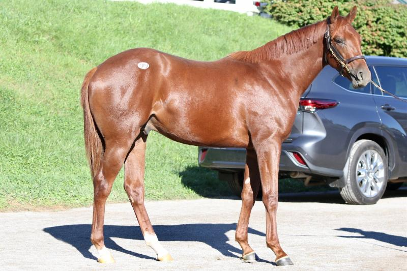 Inspeightoftrainer - 2020 Chestnut colt by Speightster out of Run a Round (Broken Vow) - right side.