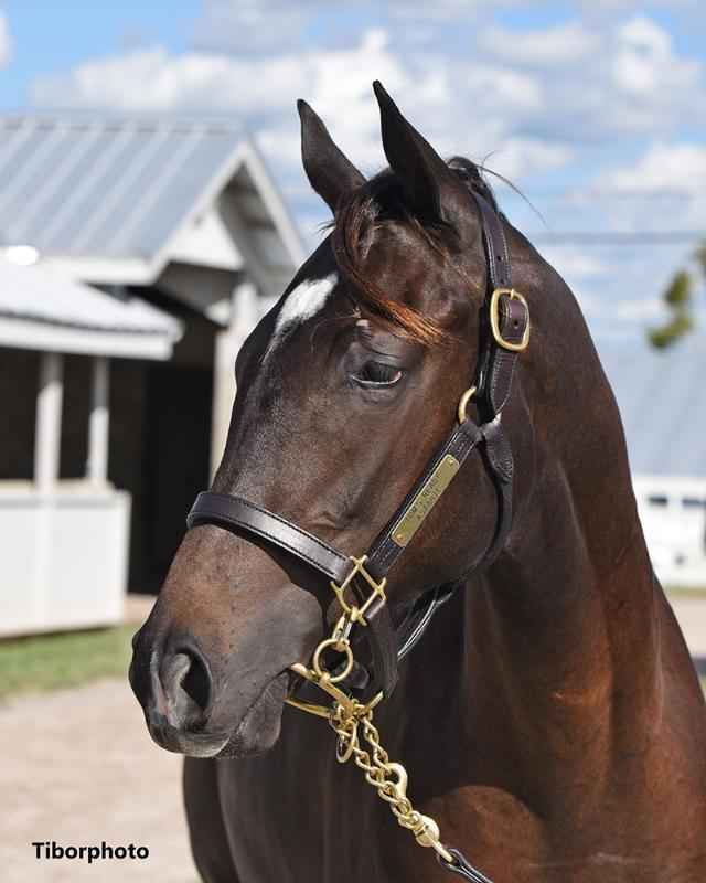 Muchmorethanready - 2020 Dark Bay or Brown filly by Tom's Ready out of Astarte (Street Sense) - left head.